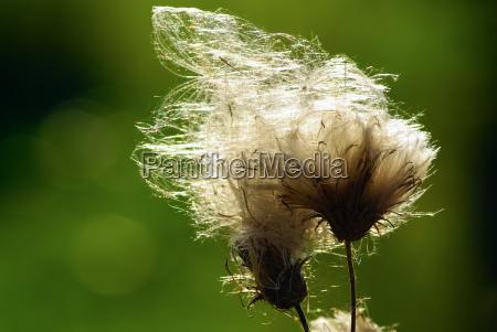 blume pflanze gewaechs wild flora unkraut