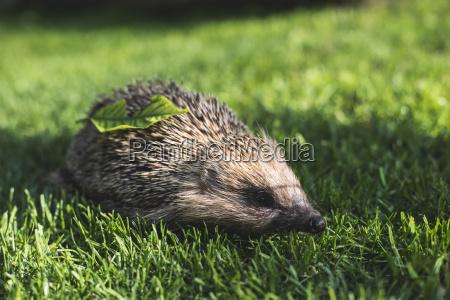 hedgehog on a meadow