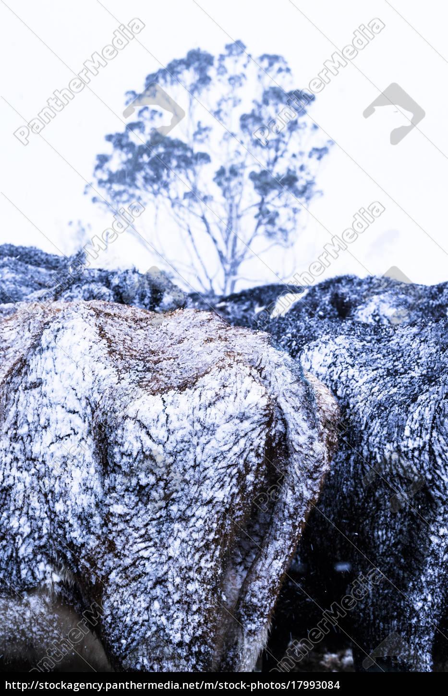 schneefall, auf, ackerland, und, tiere, in - 17993084