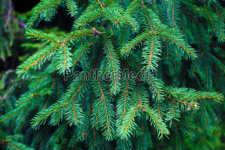 tannenbaum zweig hintergrund