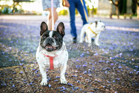 french bulldog with other dog and