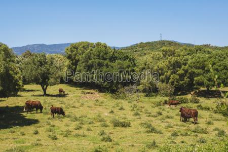 spanien andalusien tarifa retinta zuechten kuehe