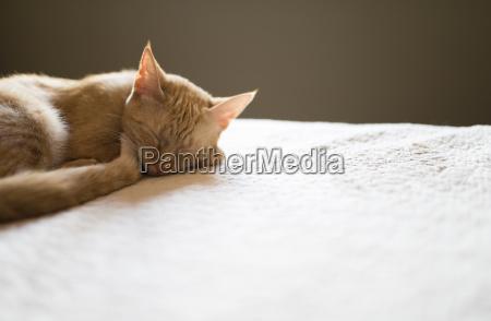 katze schlaeft auf dem bett zu