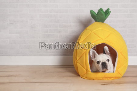 french bulldog lying in his bed