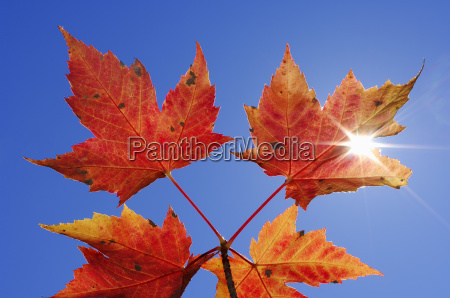 autumnal maple leaves against clear blue