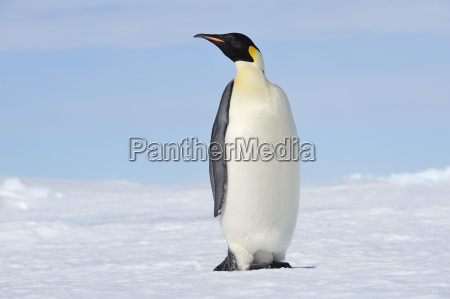 fahrt reisen kalt kaelte antarktis pinguin