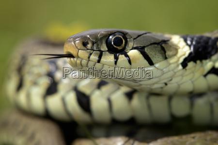 portrait of grass snake
