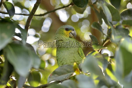 brazil para blue fronted amazon sitting