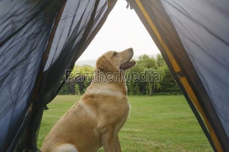 labrador retriever sitting in front of