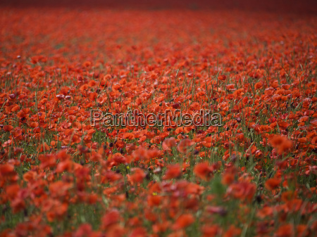 red poppy field near munich bavaria