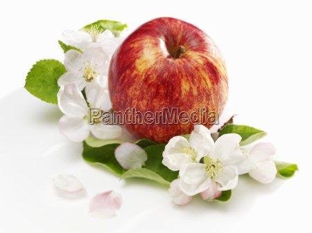 an apple apple blossom and apple