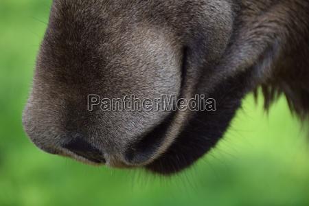 a soft moose nose