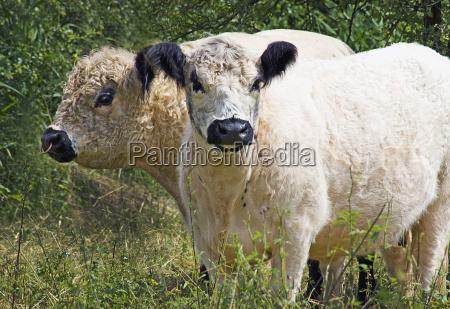 galloway rinder stier und kuh