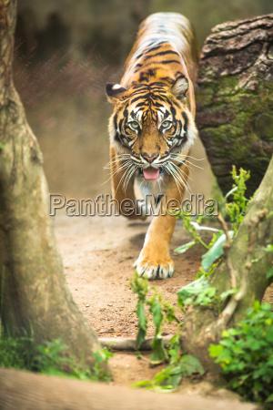 nahaufnahme eines sibirischen tigers auch als
