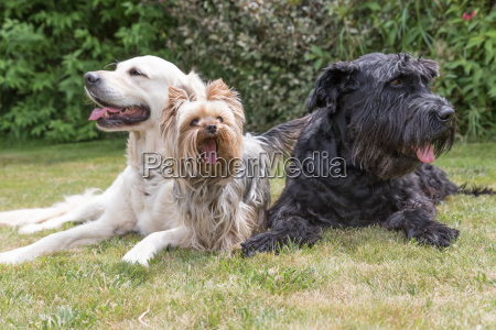 three dogs are lying on the