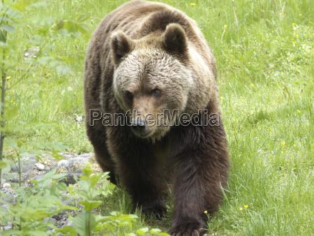 brown bear hellabrunn zoo munich bavaria
