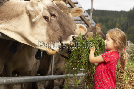 young girl feeding cows