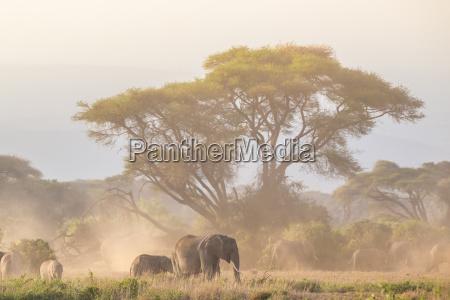 elefanten vor kilimanjaro amboseli kenia