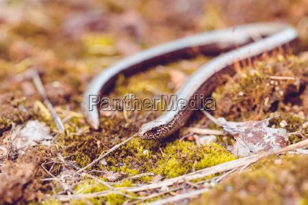 langsam worm oder blinder wurm anguis