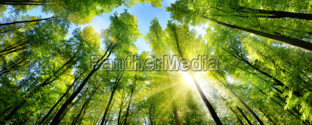 zauberhafter sonnenschein auf gruenen baumkronen im