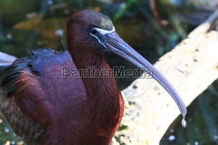 tier vogel glossy ibis