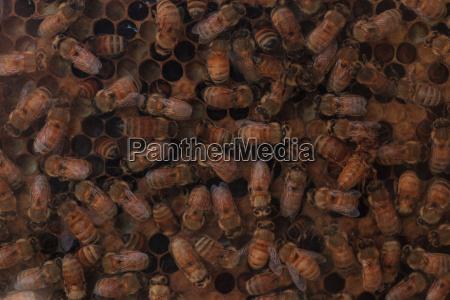 honigbienen apis mellifera von einem imker