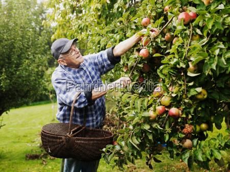 aeltere menschen frucht vom baum pfluecken