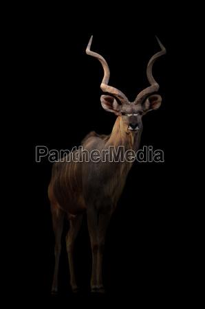 greater kudu in the dark