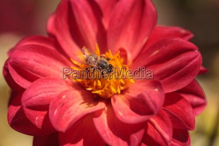 rote dahlienblume namens faszination mit einer