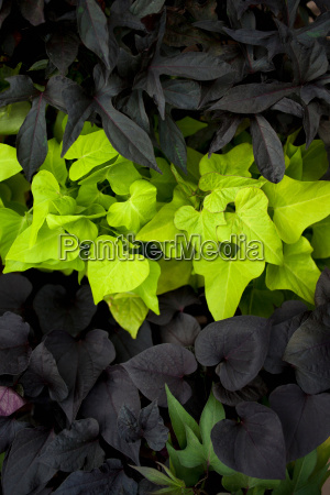 bright green leaves against dark leaves