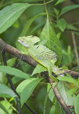 basilisk lizard basiliscus plumifrons on tree