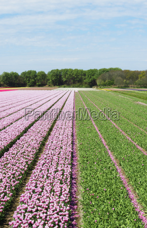 bulb fields with blossoming flowers netherlands