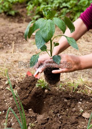 woman planting in garden