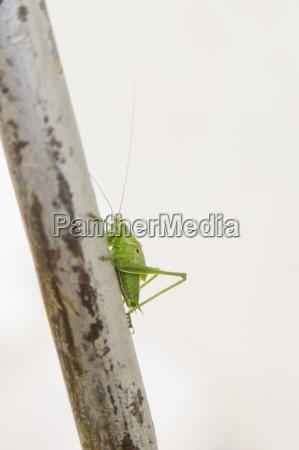 seitenansicht des gruenen cricket auf einem