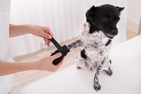 vet putting verband auf hundepfote