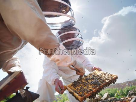 imker suchen bienenkoenigin