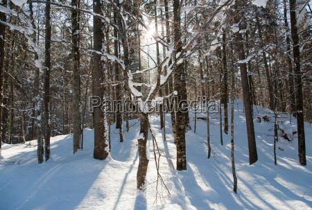 sunlight streaming through winter forest
