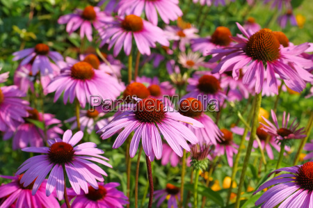 purpur sonnenhut purple coneflower nice