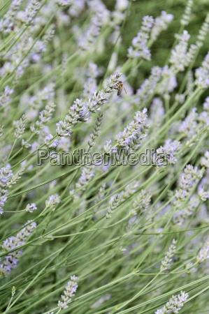 lavender lavandula sp