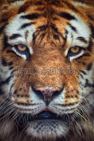 portraet von tiger