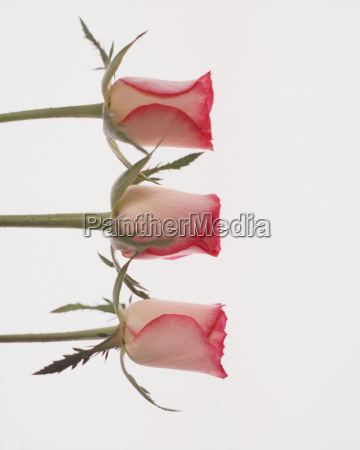 three rose buds on white background