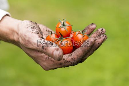 eco landwirtschaft frische rohe tomaten