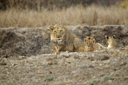 schutz loewin panthera leo