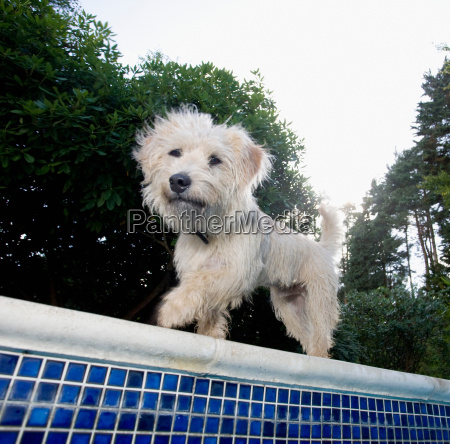 dog walking at edge of pool
