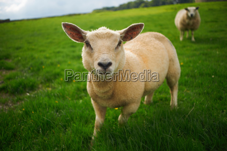close up of sheep in rural