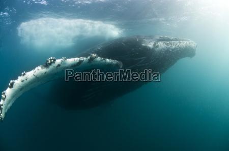 buckelwale megaptera novaeangliae wandern jeden winter