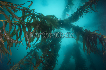 low angle underwater view of kelp