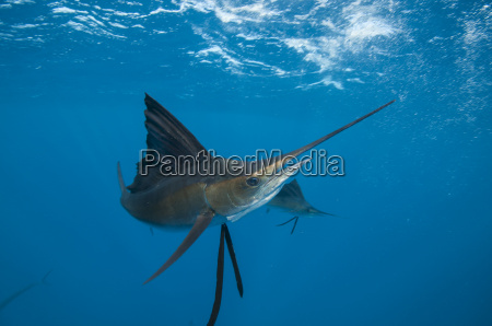 underwater view of a sailfish corralling