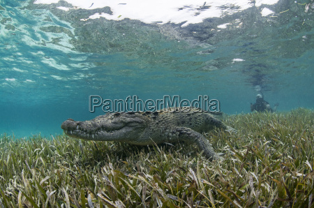 underwater view of crocodile on seagrass
