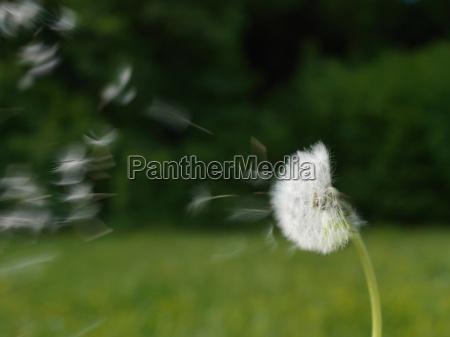 dandelion blowing in wind